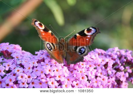 Butterfly Over The Chrysanthemum Flower