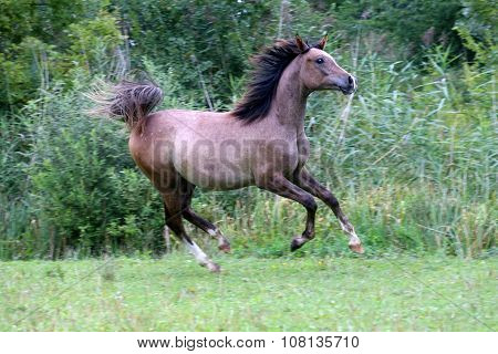 Purebred Arabian Horse Running Natural Environment