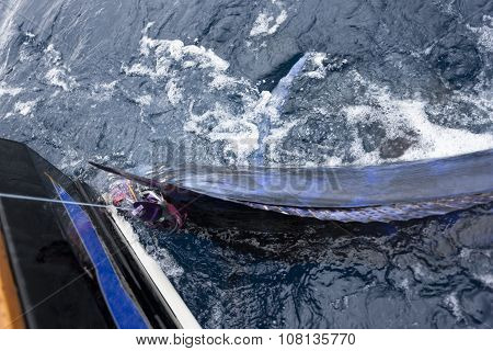 Electric Blue Marlin Being Caught