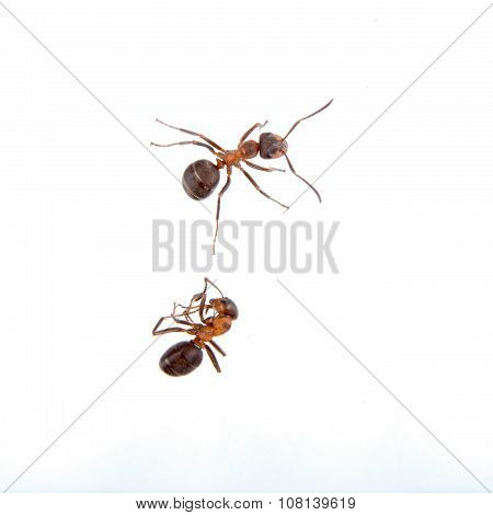 Two Ants On A White Background