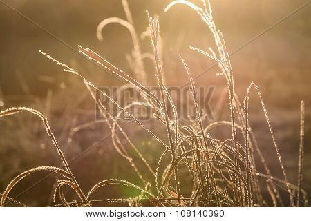 Sunset Grass Frost Light Background