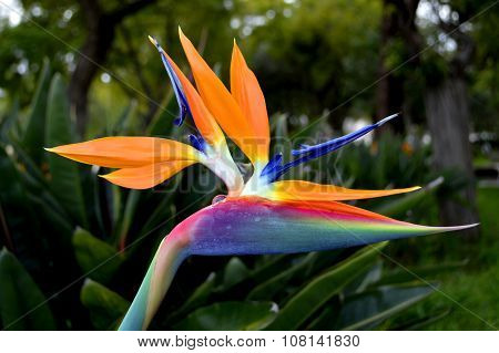 Bird of paradise Latin name Strelitzia reginae