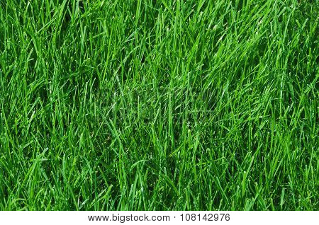 Lawn Of Green Grass, Tinted Green