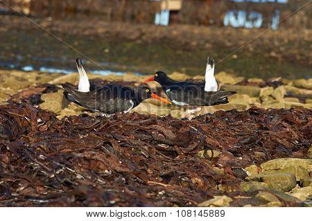 Magellanic Oystercatchers