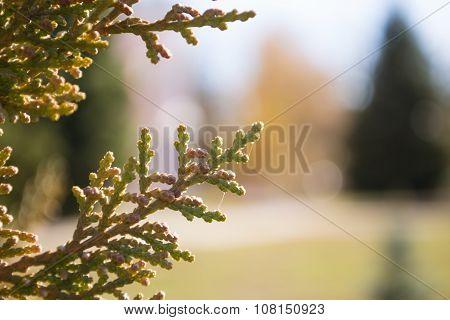 Cedar tree branch close-up