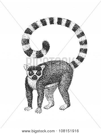 Lemur Engraving Illustration