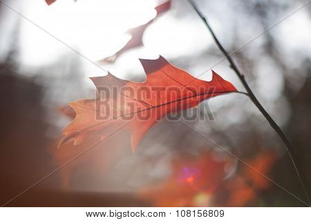 Red Autumn Leaves With Lense Flare