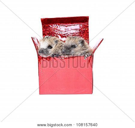 Two Forest Wild Hedgehogs Get Out Of The Gift Box Isolated