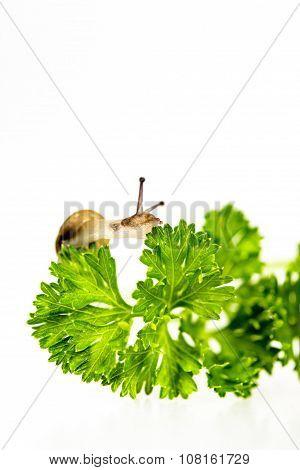 Tiny Snail On Parsley