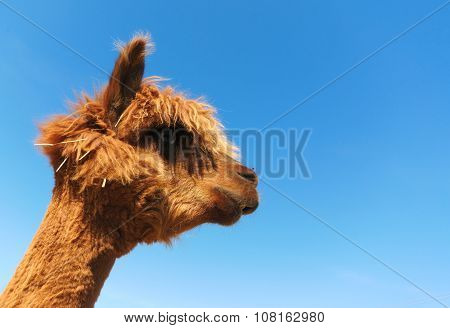 funny lama alpaca portrait