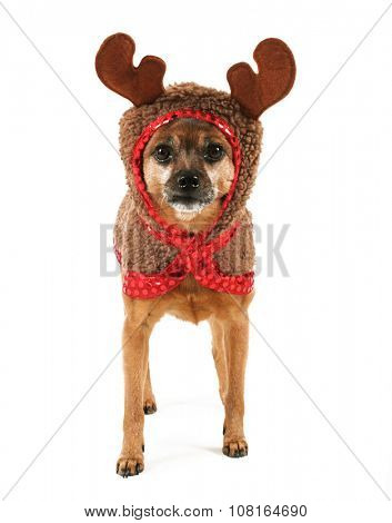 a cute chihuahua in a reindeer costume for use in christmas themes