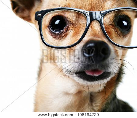 a close up of a chihuahua's face with cool trendy hipster or nerd geek black frame glasses on his face (focus on the eyes)