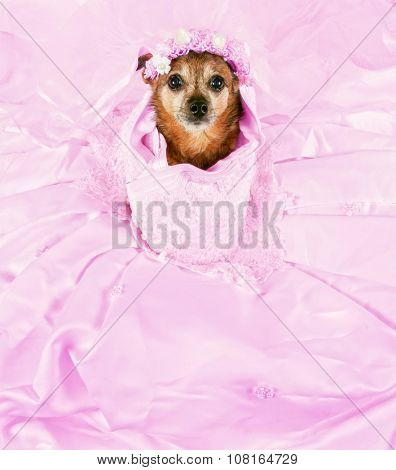 a chihuahua in a pink wedding dress spread out around him
