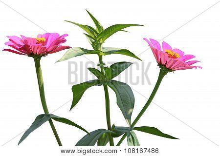 Zinnias Flower Plant