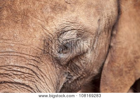 Extreme closeup of African elephant's face and eye