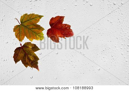 Colorful autumn maple leaves and raindrops on the window.