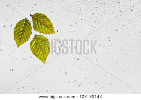 Colorful autumn  hornbeam leaves and raindrops on the window.