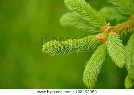 Spruce Tree Branch With New Green Needles