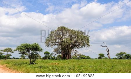 Baobab Tree In The Tarangire Park, Tanzania