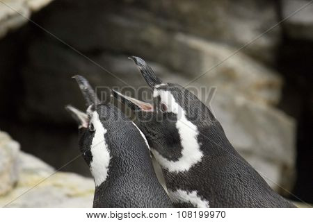 Couple Of Magellanic Penguins Shouting
