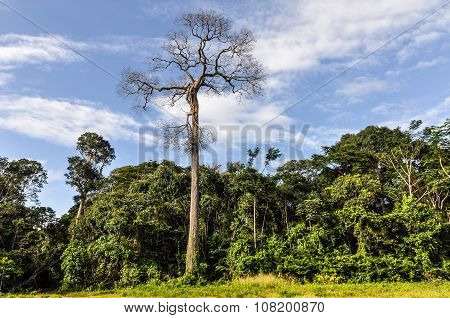 Dead Tree In The Amazon Rainforest, Brazil