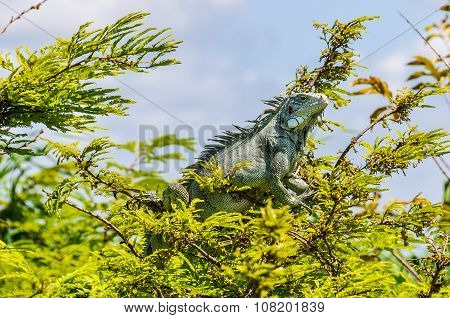 Iguana Sunbathing In The Amazon Rainforest, Brazil