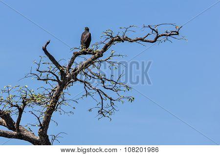 Black Eagle In The Amazon Rainforest, Brazil