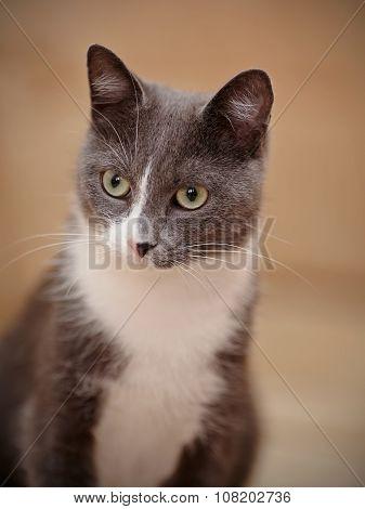 Portrait Of A Smoky-gray Domestic Cat.