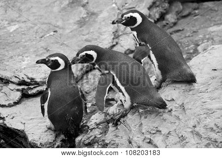 Three Magellanic Penguins