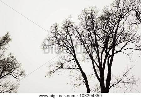 Leafless Bare Trees Over Gray Sky Background