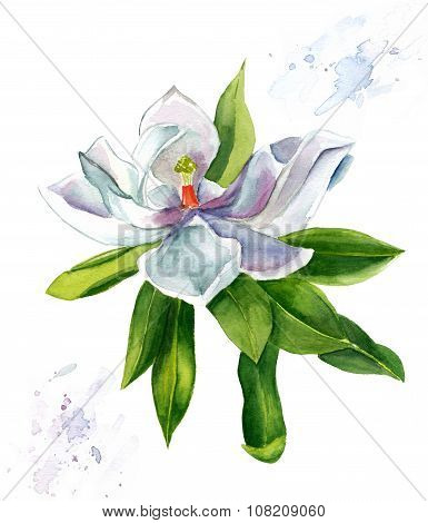 A vintage styled watercolour drawing of a white magnolia on white background