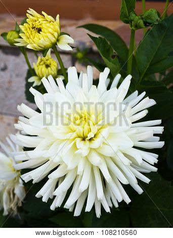 White dahlias grow