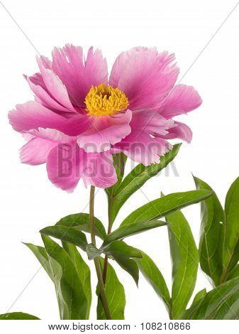 Delicate Flower Garden Pink Peony