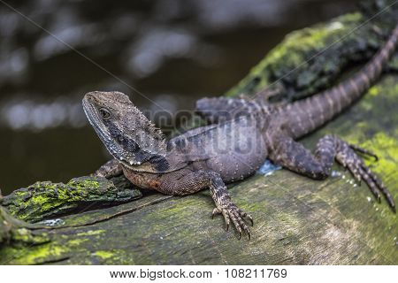 Eastern Water Dragon, Queensland (australia)