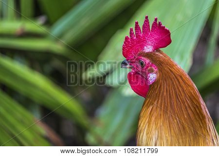 Cock Close Up On The Farm, Green Nature Background