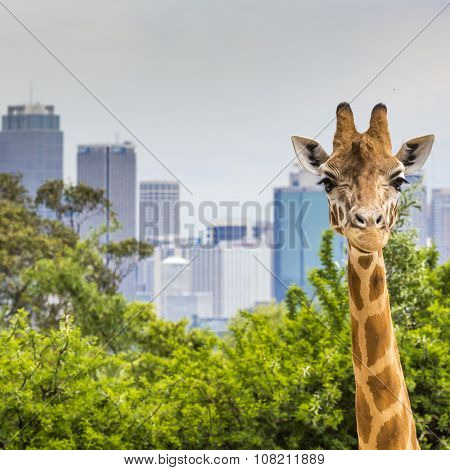 Giraffes At Zoo With A View Of The Skyline Of Sydney In The Background
