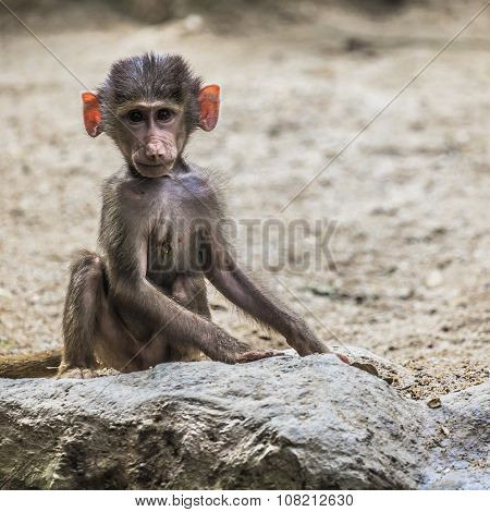 Portrait Of Young Male Hamadryas Baboon
