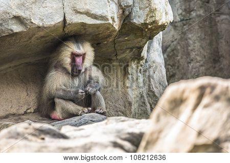 Portrait Of Adult Male Hamadryas Baboon