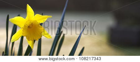 Daffodil, Panorama With Text Space.