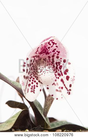 Lady Slipper Orchid Paphiopedilum , Isolate On White