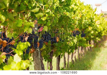 Vines With Ripe Berries On A Sunny Day