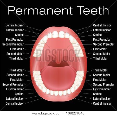 Adult Teeth Names