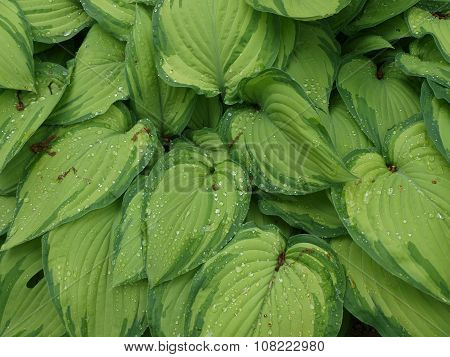 Water Drops On Leaves Of Hosta, South Bohemia