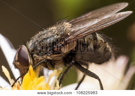 Close Up Portrait Of House Fly Extracting Pollen From White Aster Flower