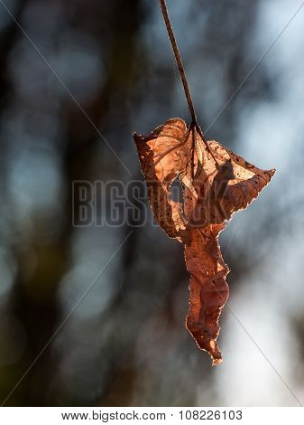 Single Withered Brown Leaf Is Lit By Sunset