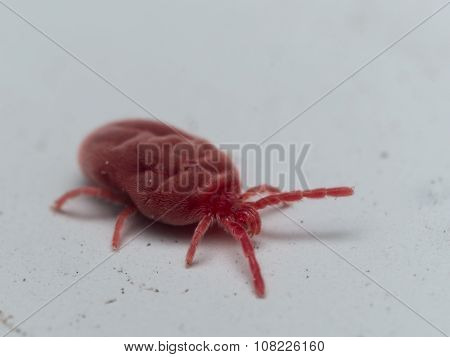 Fluffy Red Velvet Mite Crawls On White Surface