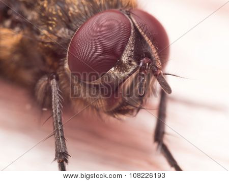 Extreme Close Up Portrait Of Brown House Fly With Dark Red Compound Eyes