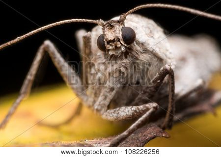 Close Up Portrait Of Wingless Female Fall Cankerworm Moth On Yellow Leaf In Fall