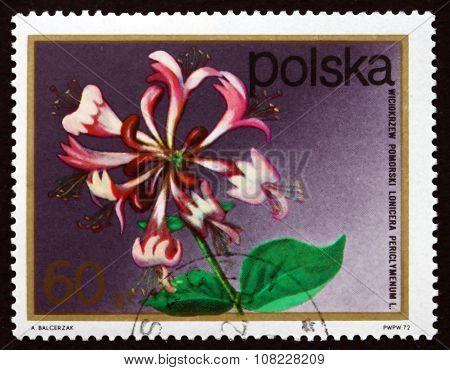 Postage Stamp Poland 1972 Pomeranian Honeysuckle