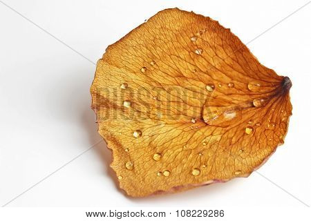 Dried Rose Petal In A Drop Of Water